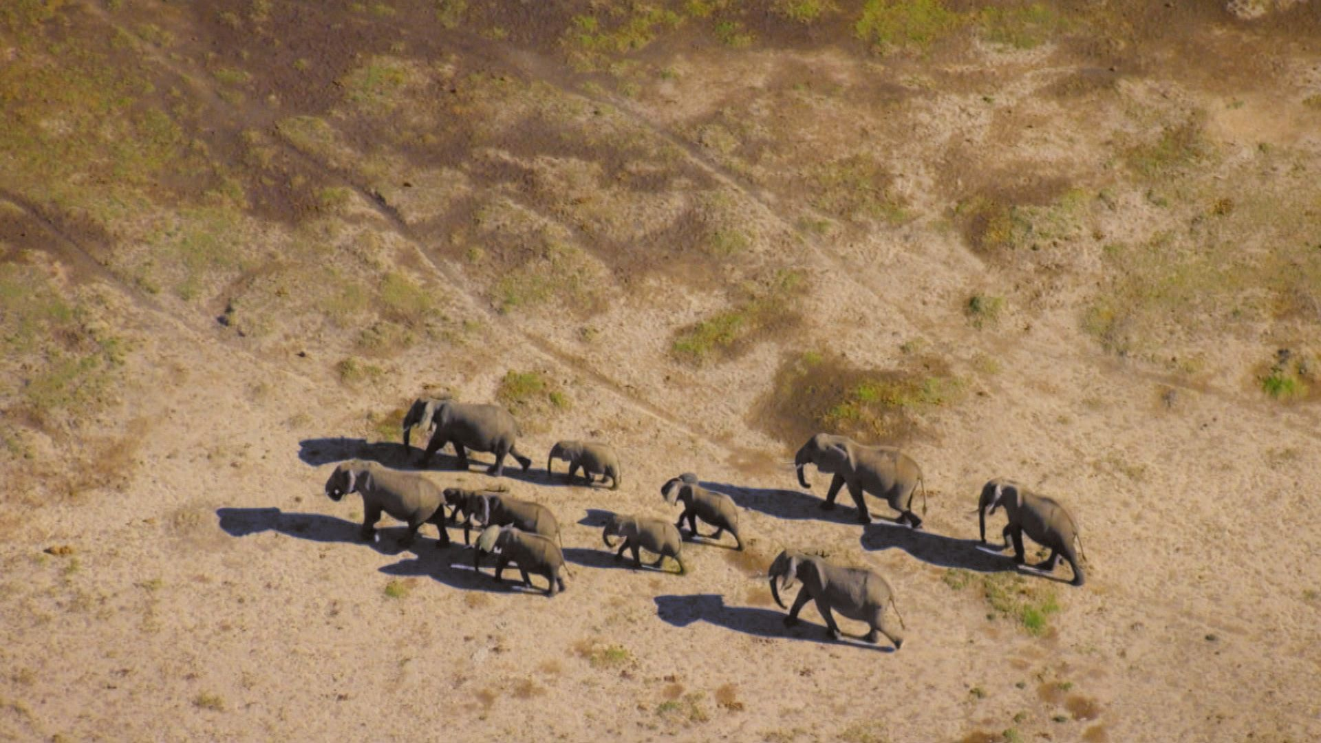 Herd of African elephants (Loxodonata africana) walking in drought. This is from Deadly Instincts. [Photo of the day - September 2021]