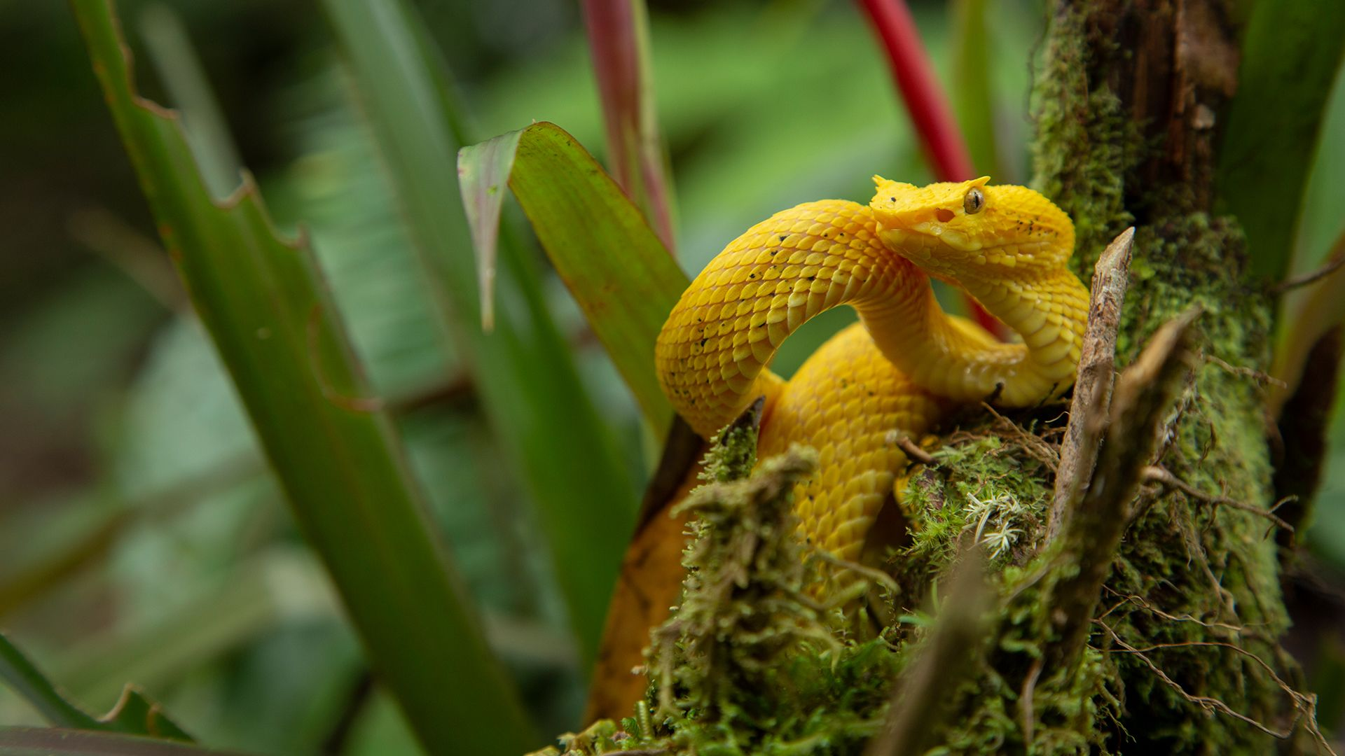 Eyelash Palm Pitviper. This is from Central Wild America. [Photo of the day - September 2021]