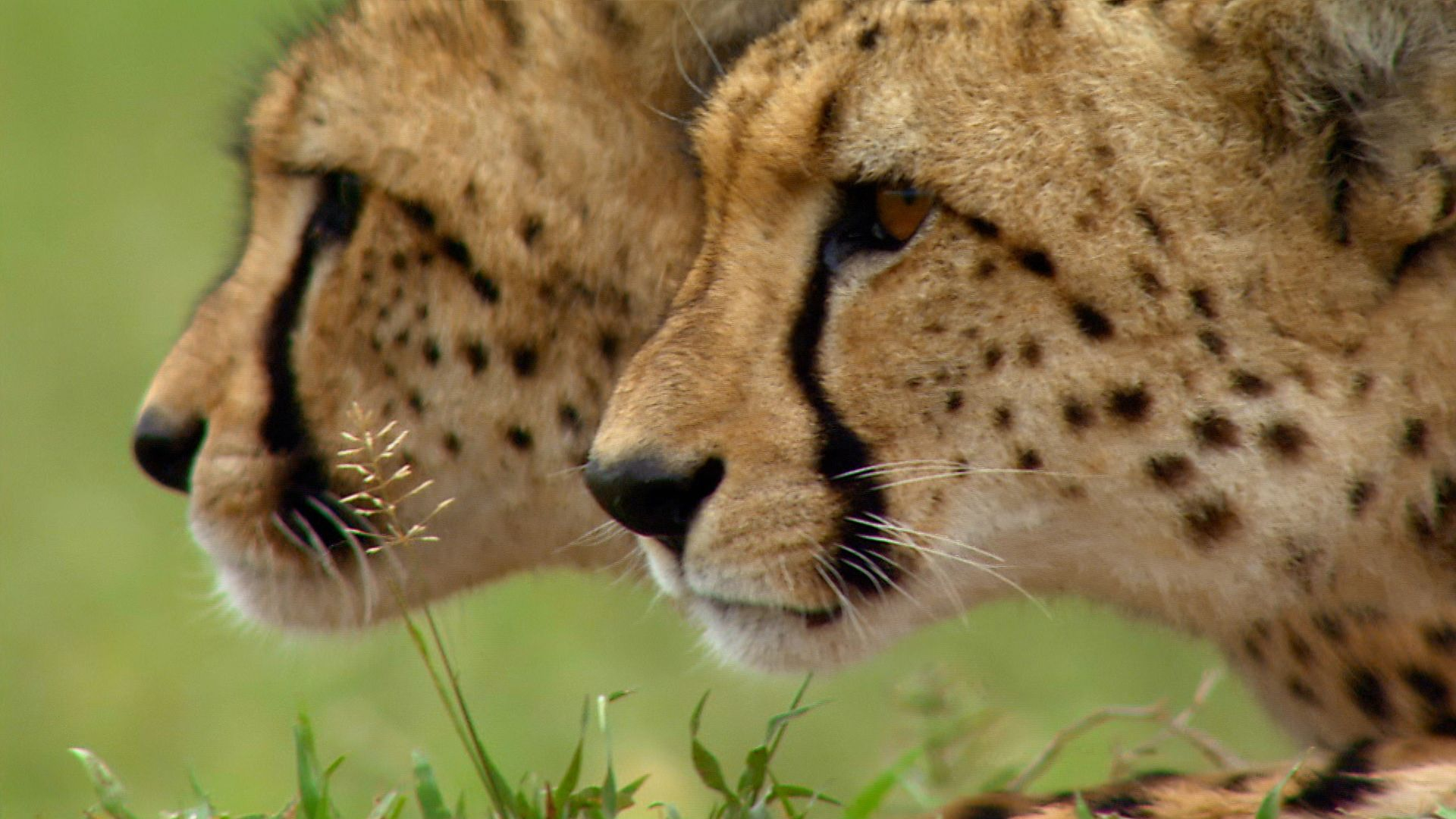 Cheetah (Acinonyx jubatus) brothers hunting. This is from Deadly Instincts. [Photo of the day - September 2021]