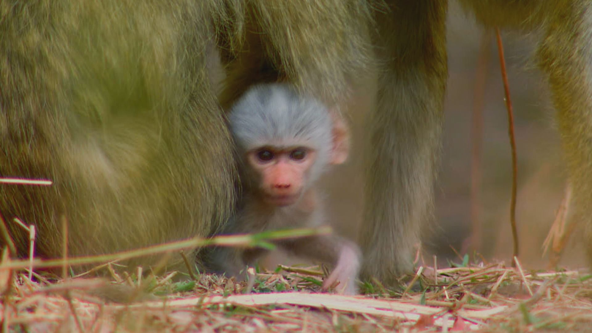 Yellow baboon (Papio cynocephalus) baby looking out from under its mother. This is from Deadly... [Photo of the day - September 2021]