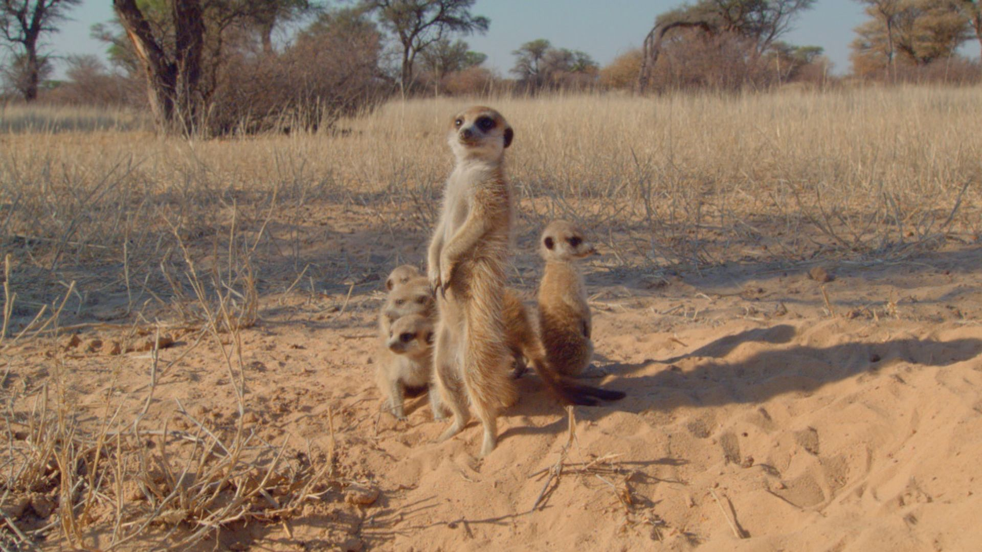 Meerkat (Suricata suricatta) female babysitting pups. This is from Deadly Instincts. [Photo of the day - September 2021]