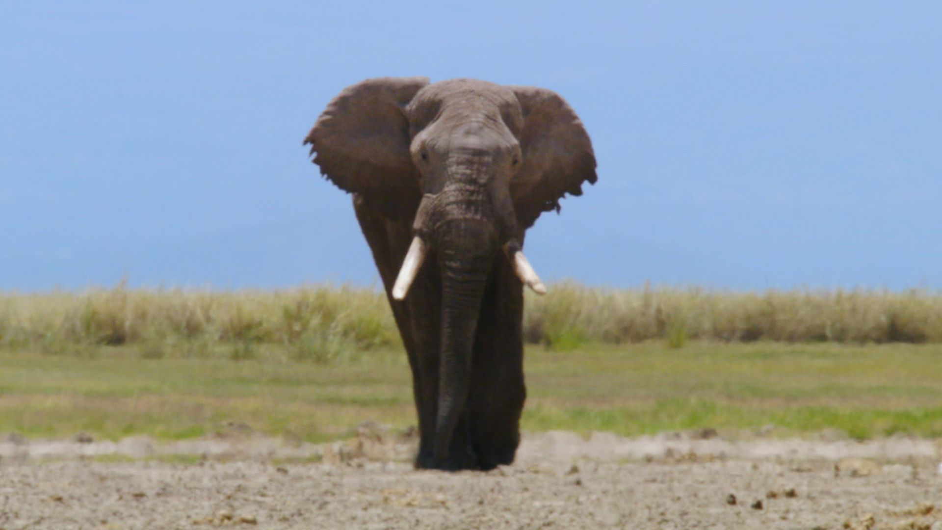 Male African elephant (Loxodonta africana) in musth. This is from Deadly Instincts. [Photo of the day - September 2021]
