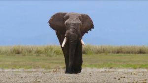 ذكر فيل أفريقي في... [Photo of the day - 20 سبتمبر 2021]