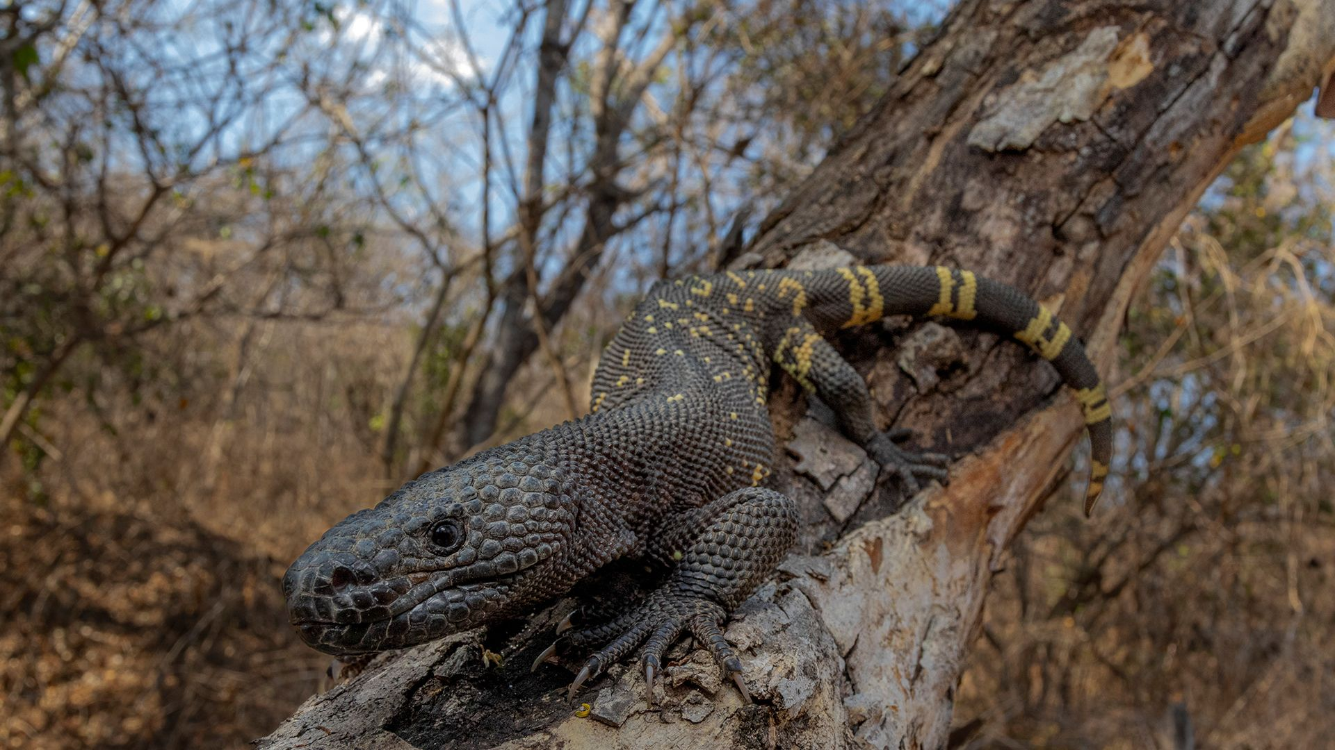 Guatemalan Beaded Lizard. This is from Central Wild America. [Photo of the day - September 2021]