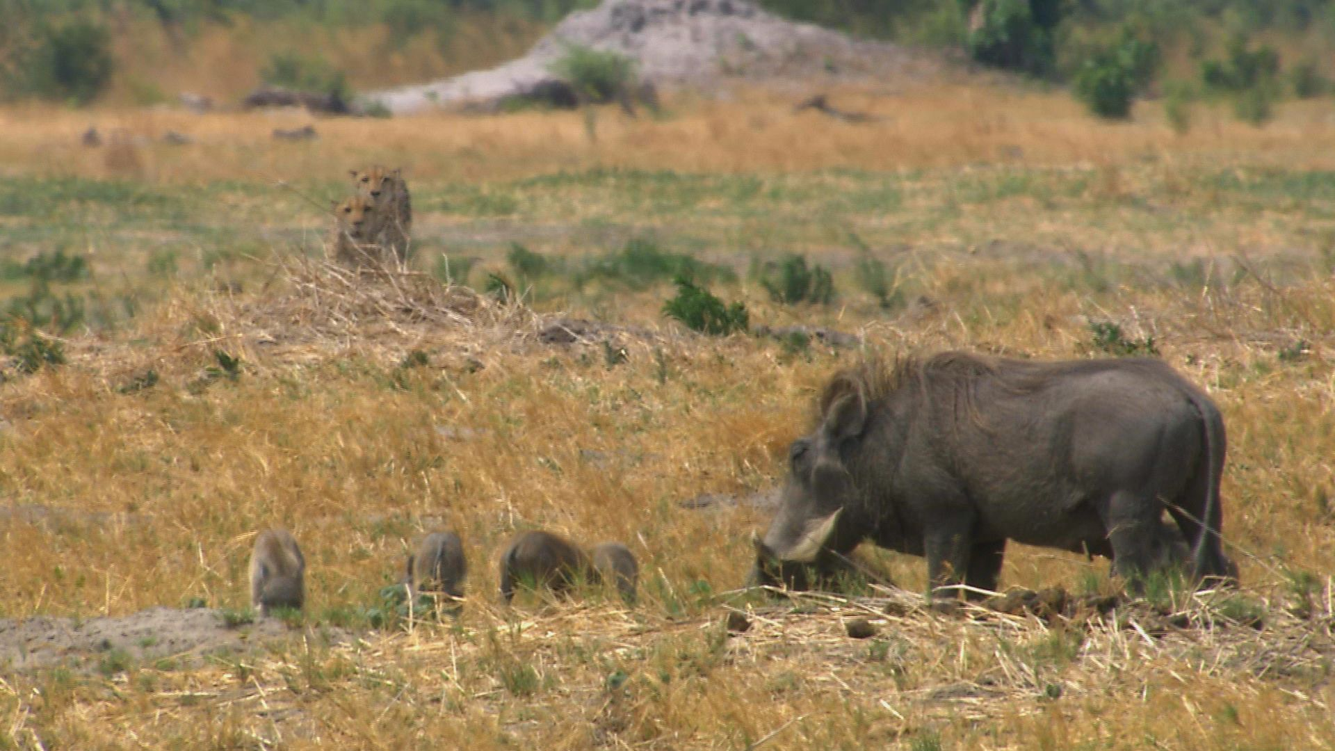 Mother common warthog (Phacochoerus africanus) with piglets, being stalked by two cheetah... [Photo of the day - September 2021]
