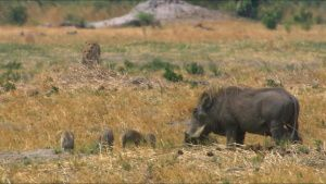 Mother common warthog (Phacochoerus... [Photo of the day - 23 SEPTEMBER 2021]