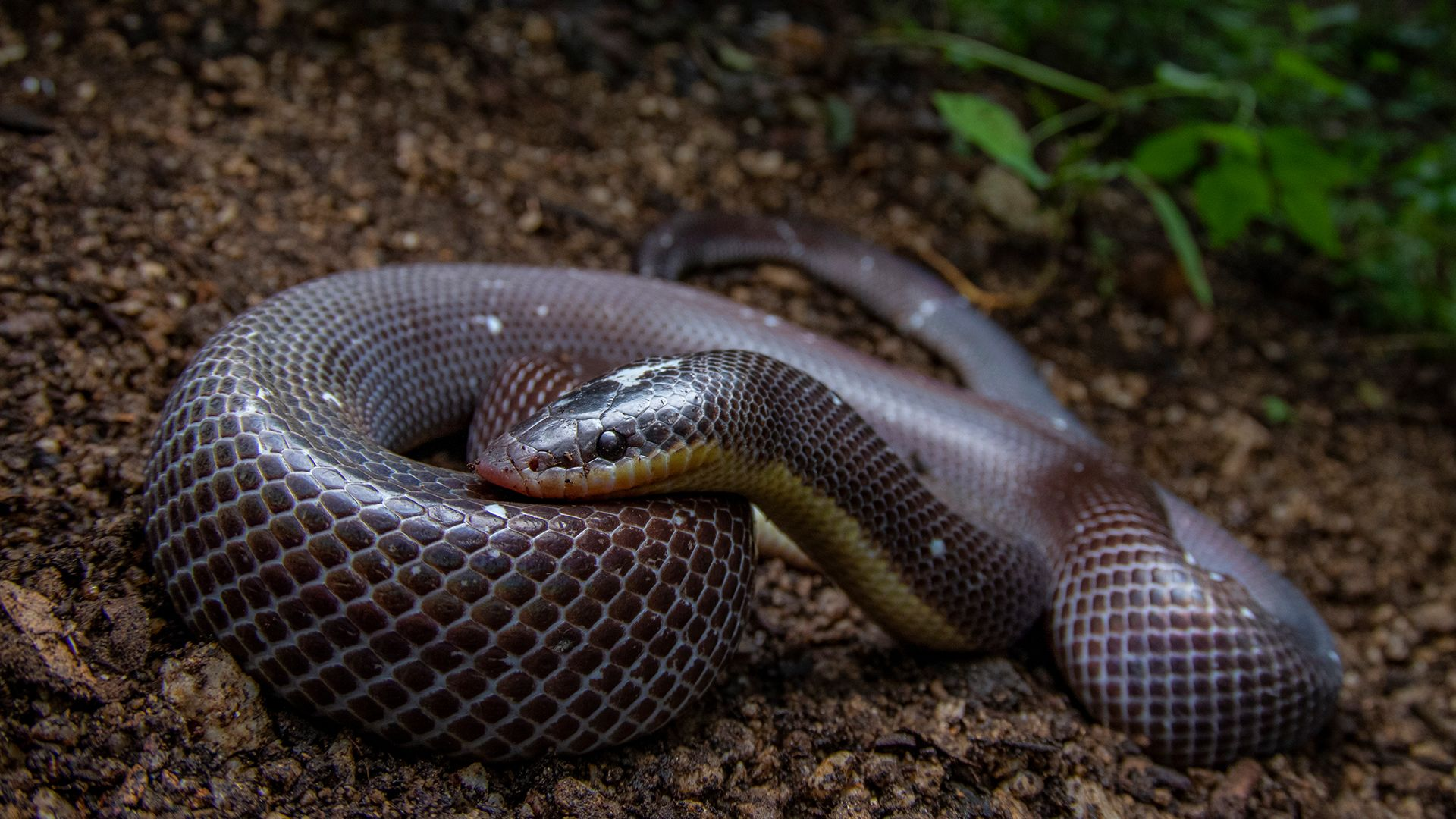 Mexican Burrowing Python. This is from Central Wild America. [Photo of the day - September 2021]