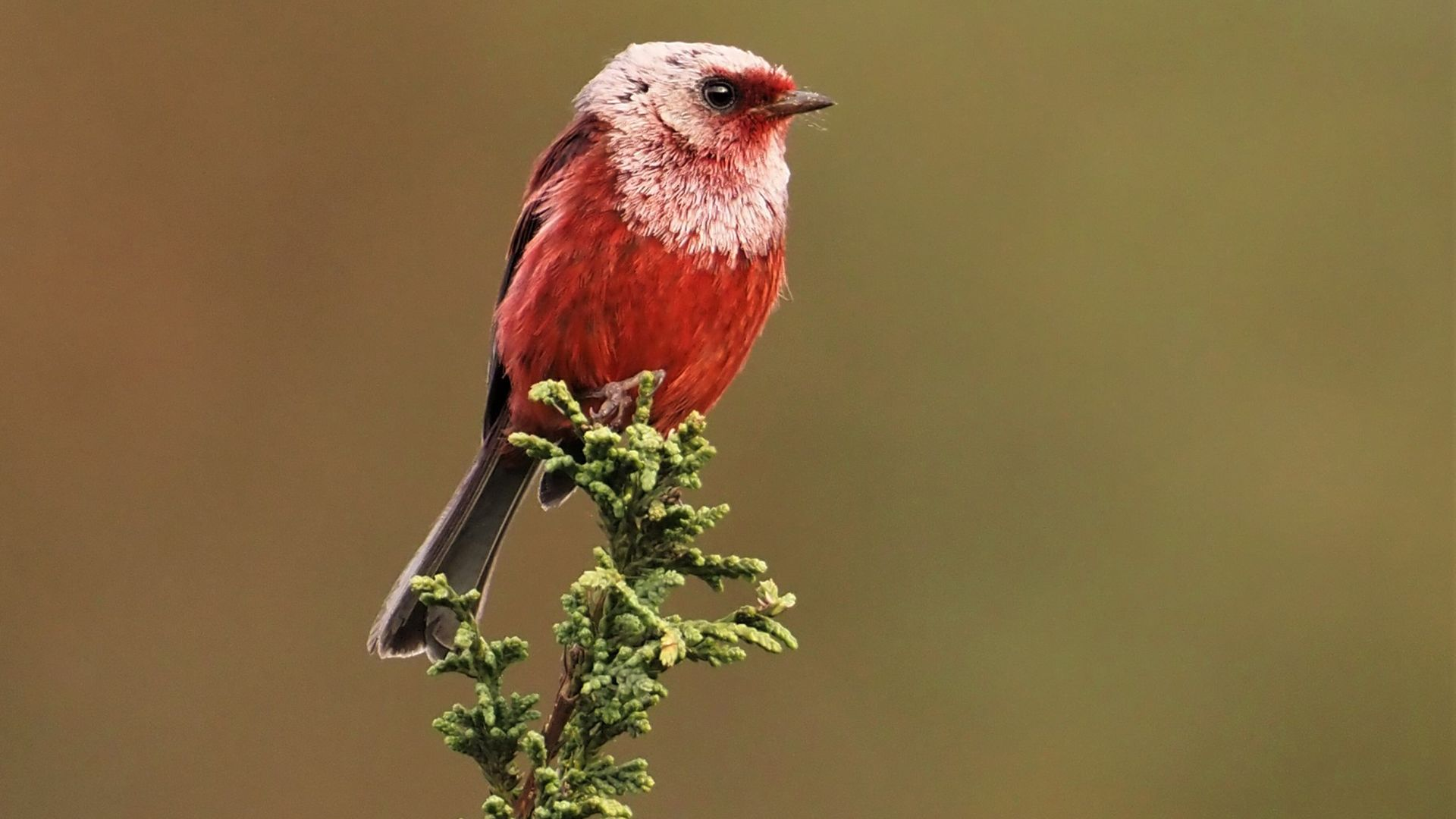 Pink-headed Warbler. This is from Central Wild America. [Photo of the day - September 2021]