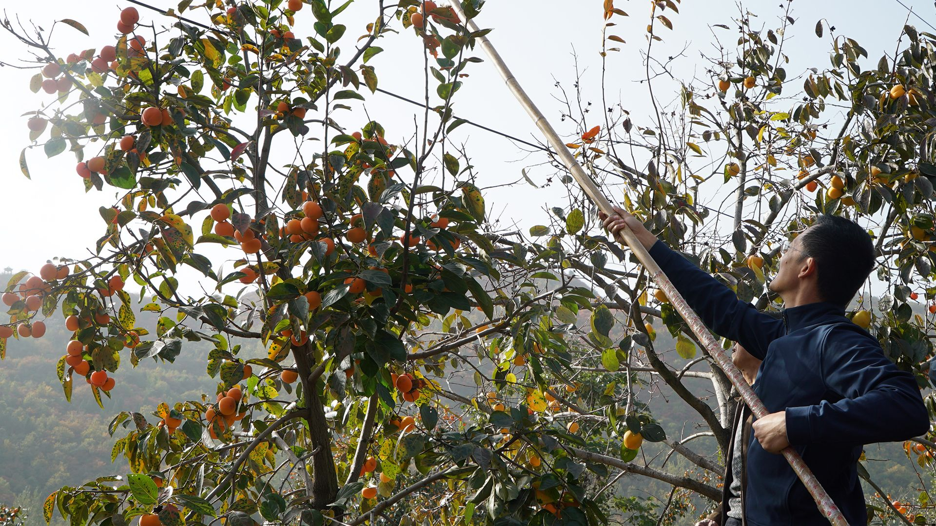 Host He Tian'ran helps villagers pick persimmon. This is from Tracing Heritage [Photo of the day - October 2021]