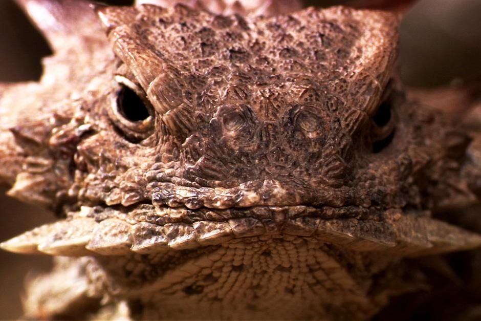Regal Horned Lizard at Sonoran Desert, North America. This image is from Untamed Americas. [Photo of the day - July 2012]