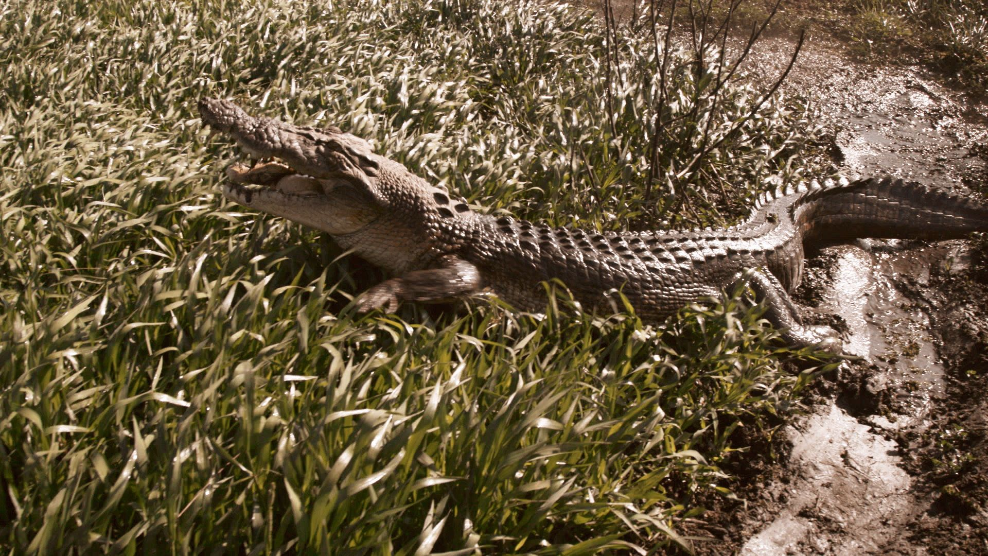 Crocodile in grass, missing half it's bottom jaw. This is from Monster Croc Wangler [Photo of the day - October 2021]