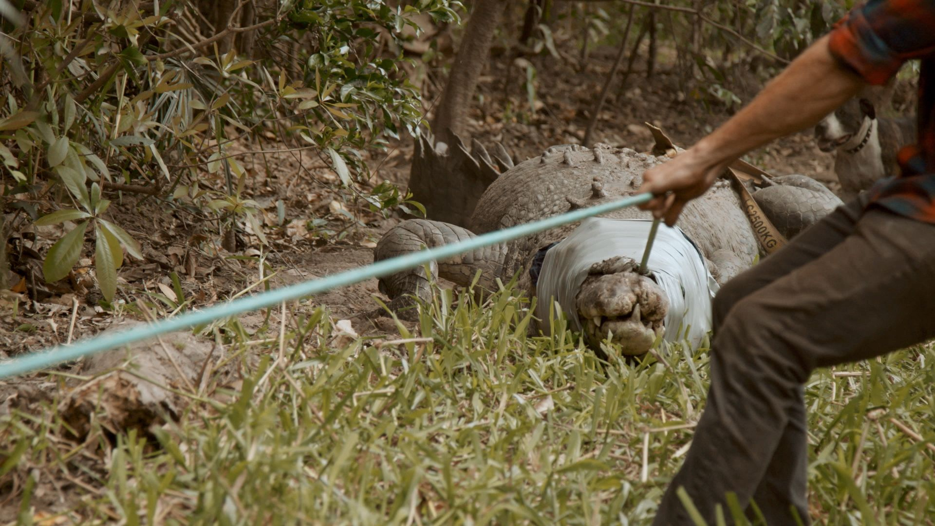 Jono holding monster croc by rope. This is from Monster Croc Wrangler [Photo of the day - October 2021]