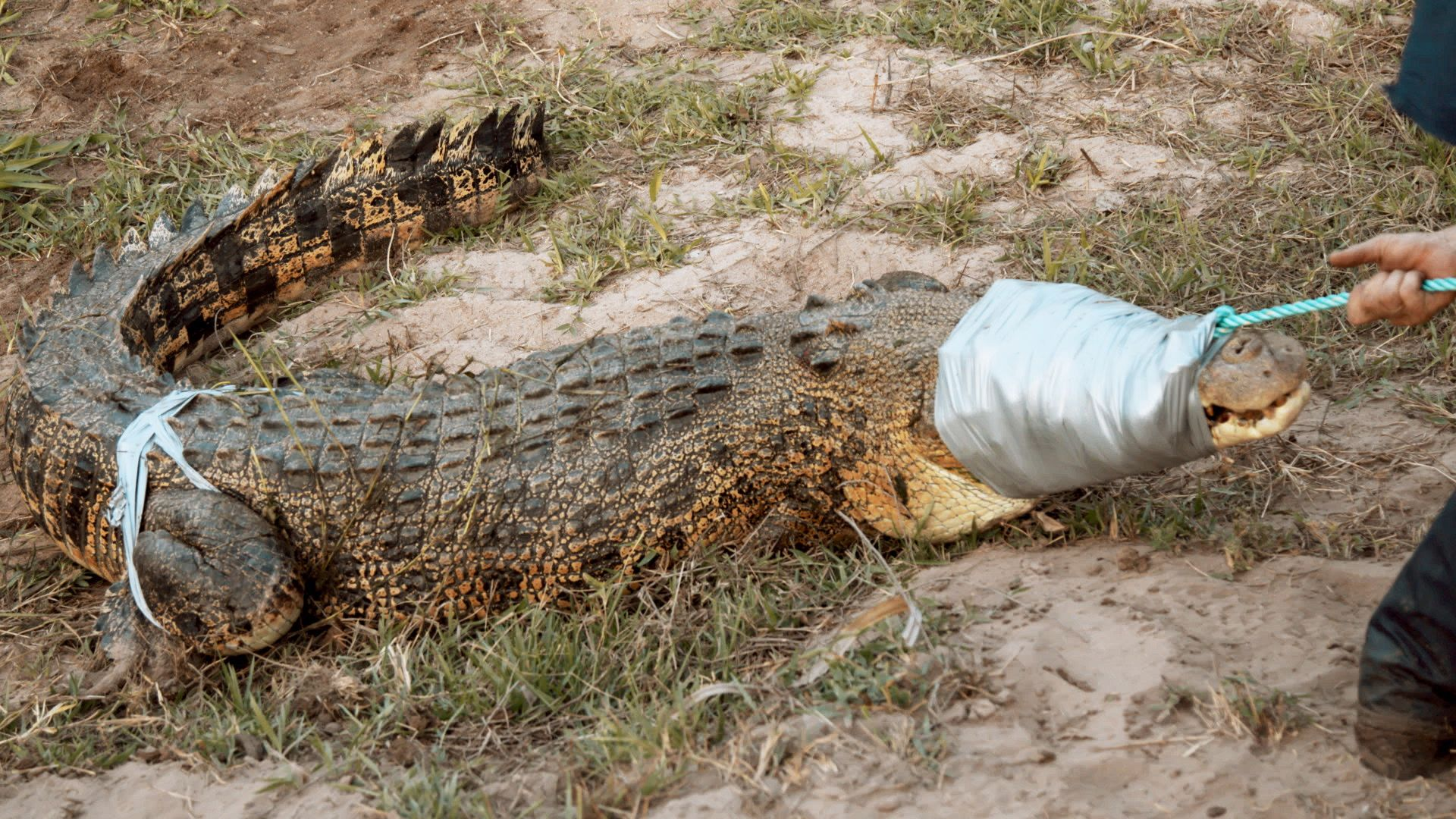 Crocodile with eyes and legs taped, ready for transportation. This is from Monster Croc Wrangler [Photo of the day - October 2021]