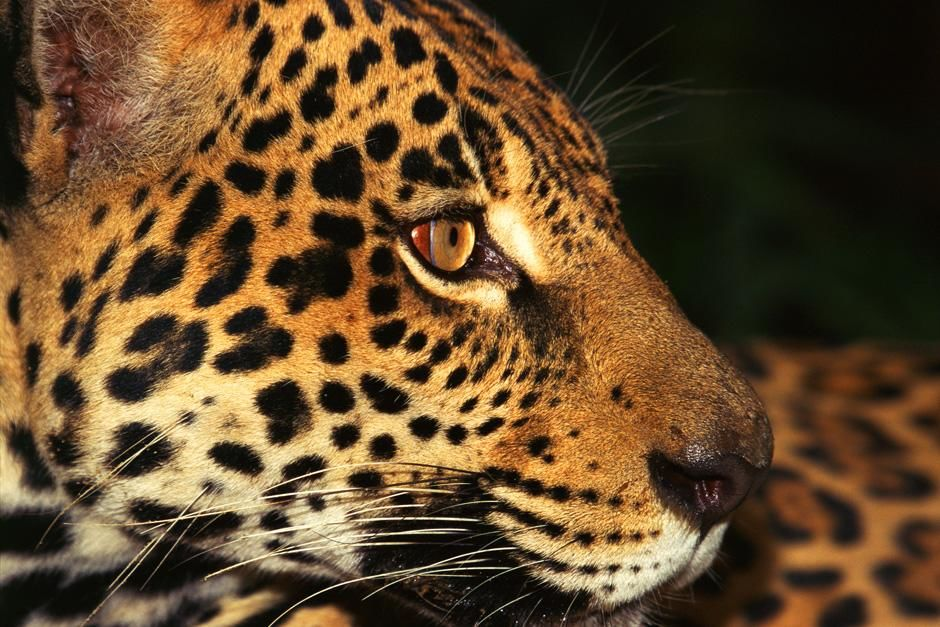 Jaguar at Amazon, Brazil. This image is from Untamed Americas. [Photo of the day - July 2012]