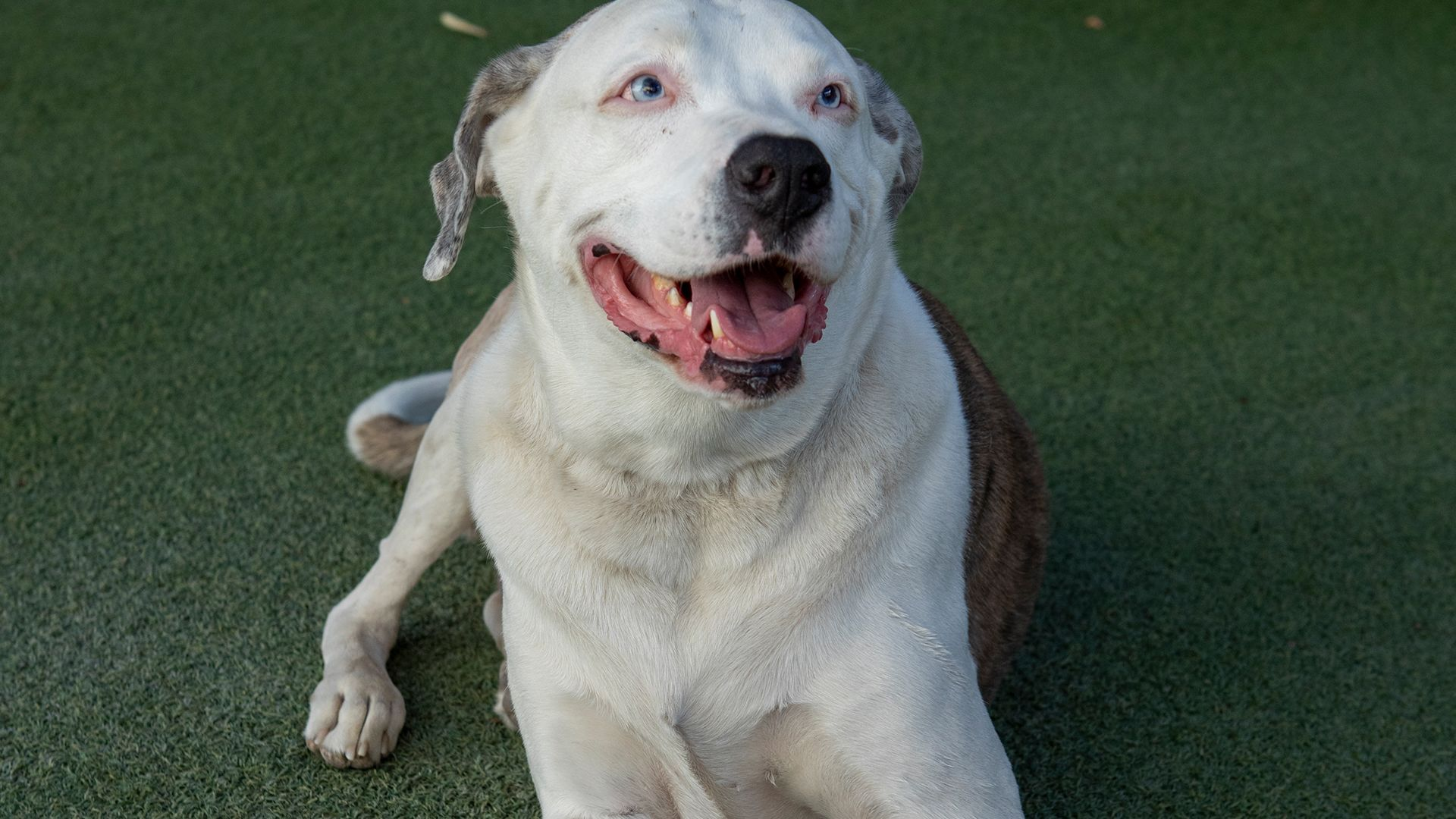 American bulldog mix, Artie, takes a break during a socialization session. This is from Dog... [Photo of the day - October 2021]