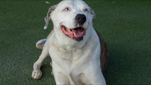 American bulldog mix, Artie, takes a... [Photo of the day - 25 OCTOBER 2021]