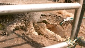 Close up action shot of crocodile... [Photo of the day - 28 OCTOBER 2021]
