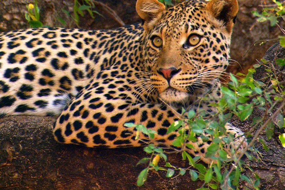 Leopard lying on a tree branch.  John Varty was filming leopard cubs when their mother... [Photo of the day - August 2012]