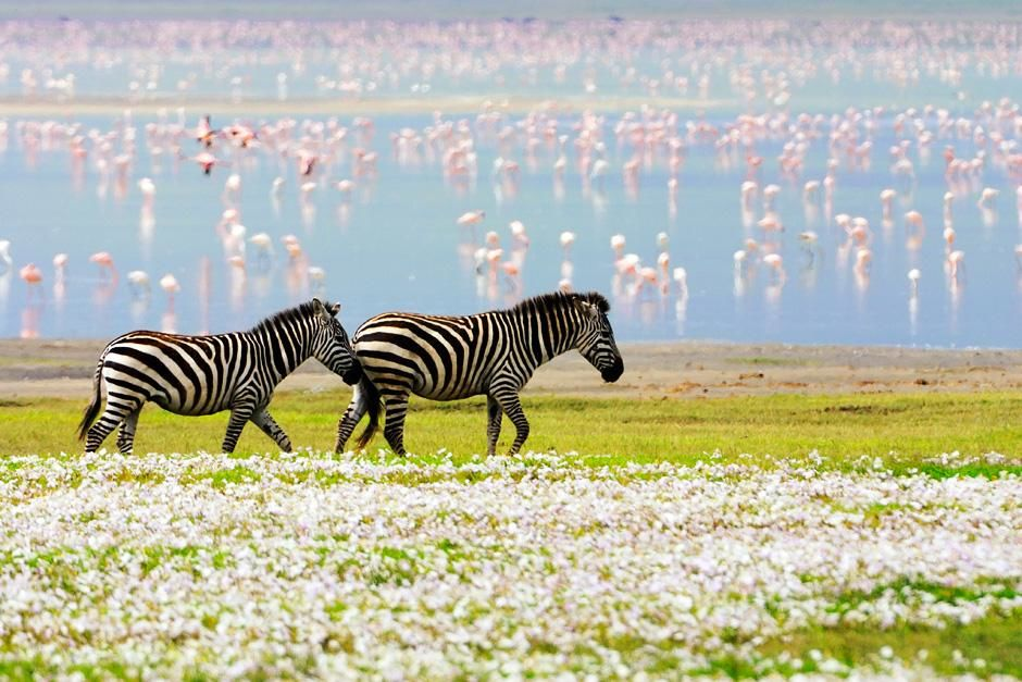 Two Zebras walk together in a floral landscape, while pink flamingos graze in the shallow waters... [Photo of the day - اگوست 2012]