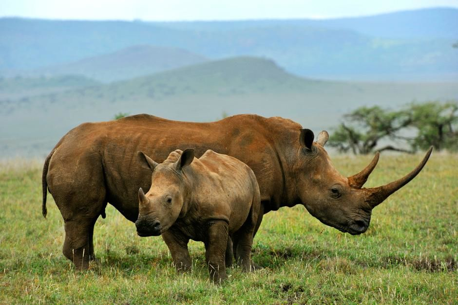 A juvenile Rhinoceros stands infront of an adult Rhino while out in the grasslands. This image... [Photo of the day - August 2012]