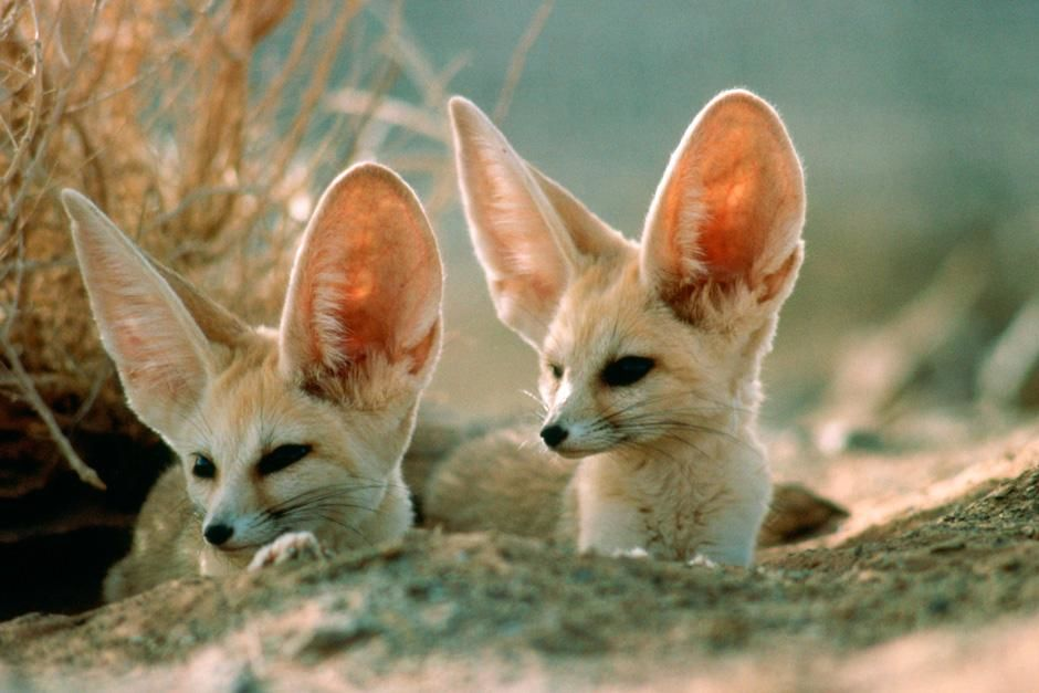 Two Fennec foxes, the smallest of the world's wild dogs, scan surroundings for safety near their... [Photo of the day - اگوست 2012]