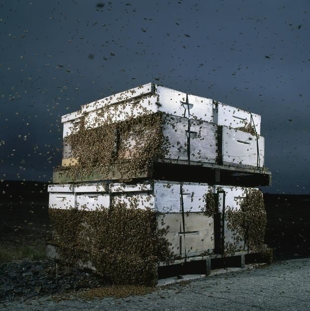 Bees cluster on two pallets of hives, stacked and strapped for moving by a migratory beekeeper,... [Photo of the day - September 2011]