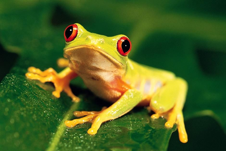 A tiny frog sits on a leaf with eyes wide open. This image is from Animals Are Amazing. [Photo of the day - August 2012]