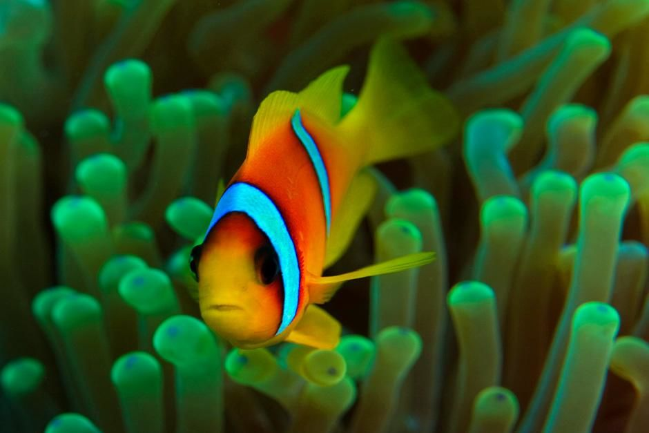 Red Sea Anemonefish (Amphiprion bicinctus) in its host anemone; commonly known as the Clown... [Photo of the day - August 2012]
