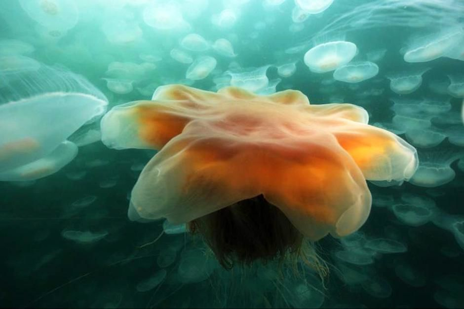 PRINCE WILLIAM SOUND, ALASKA:  A medusae jellyfish smack invaded by a lion's mane jelly during... [Photo of the day - August 2012]