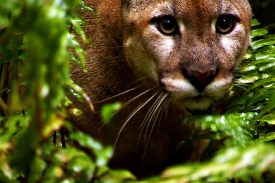 Big Cypress, FL, USA: A Florida Panther is seen up close in the swamp. This image is from Swamp Men. [Photo of the day - August 2012]