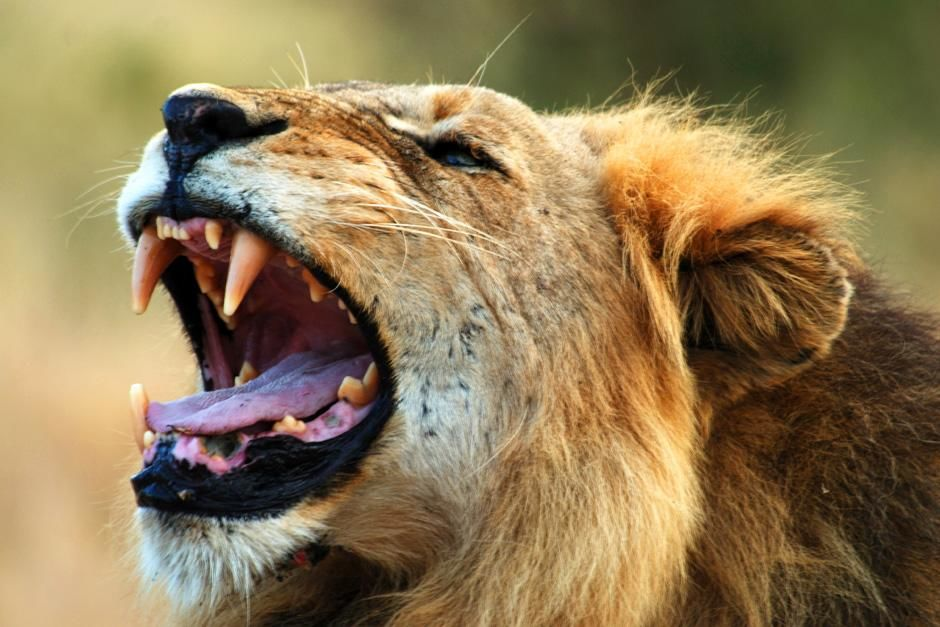 Lion in the ark yawning. Singita Kruger National Park is situated where two rivers meet, in an... [Photo of the day - August 2012]