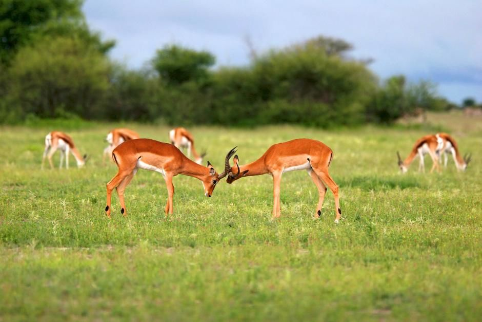 Antelope fight. Nxai Pans national park. Botswana. Africa. This image is from Savannah. [Photo of the day - August 2012]
