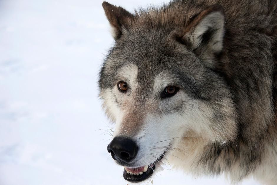 Forests Gray Wolf. Boreal Forest, Canada. This image is from Untamed Americas. [Photo of the day - August 2012]