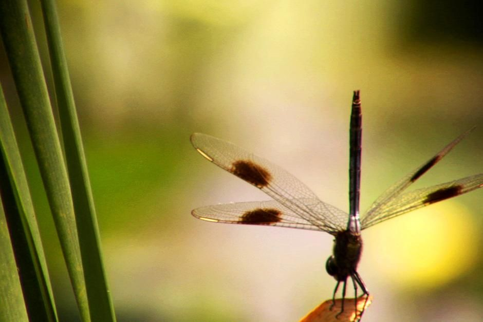 Dragonflies are valuable predators that eat mosquitoes, and other small insects like flies,... [Photo of the day - August 2012]