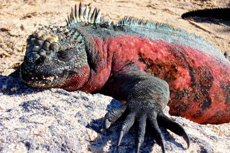 A marine iguana travels on the beach in Galapagos Islands, Ecuador. This image is from Darwin's... [Photo of the day - سپتامبر 2012]