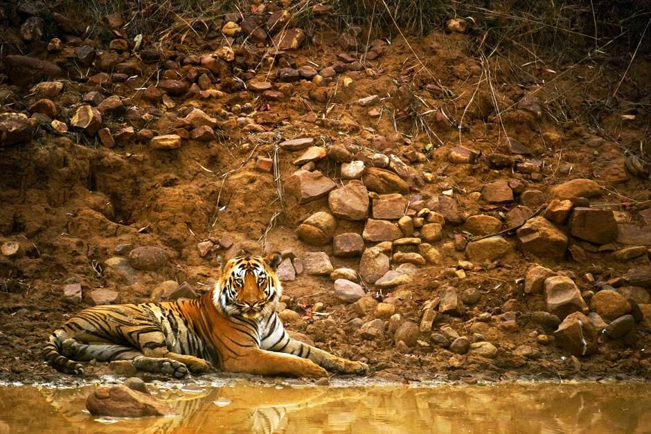 Tadoba National Park, Maharashtra, India: A Tiger lying along a muddy pool with its reflection... [Photo of the day - سپتامبر 2012]