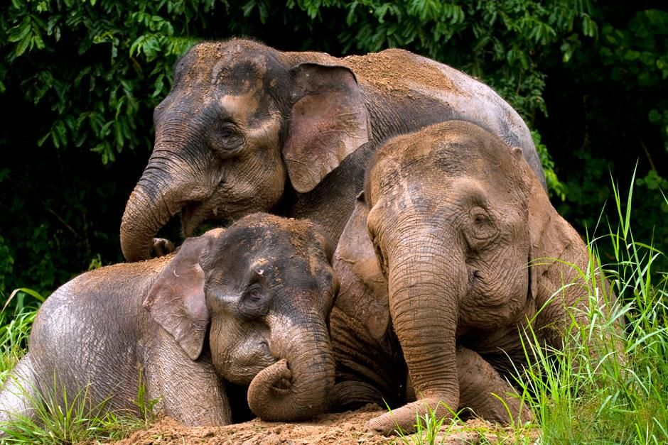 Three Borneo pygmy elephants hanging out after a swim. This image is from Finas Fund. [Photo of the day - سپتامبر 2012]