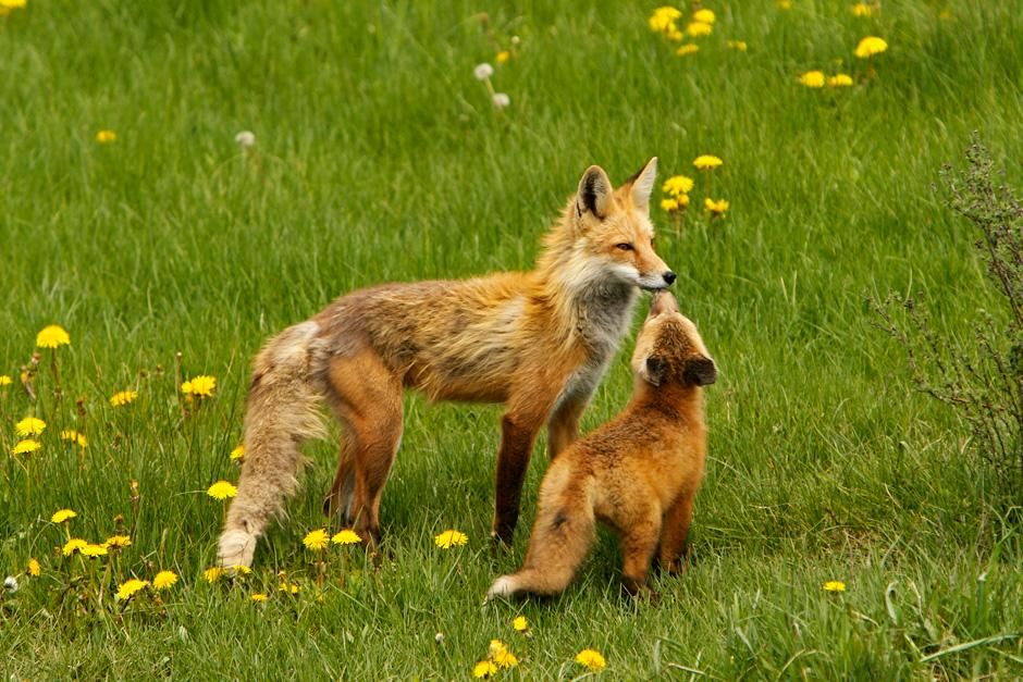 Grand Teton National Park, Wyoming:  A Mother fox and baby rest in the field. This image is from... [Photo of the day - سپتامبر 2012]