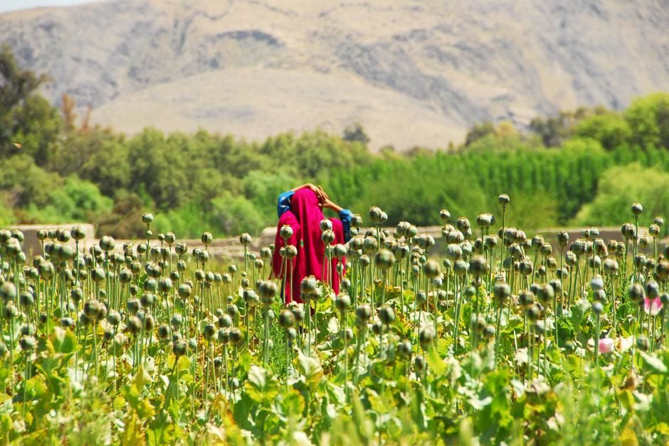 A young woman walks through one of Afghanistan's numerous illegal poppy fields. This image is... [Photo of the day - سپتامبر 2012]