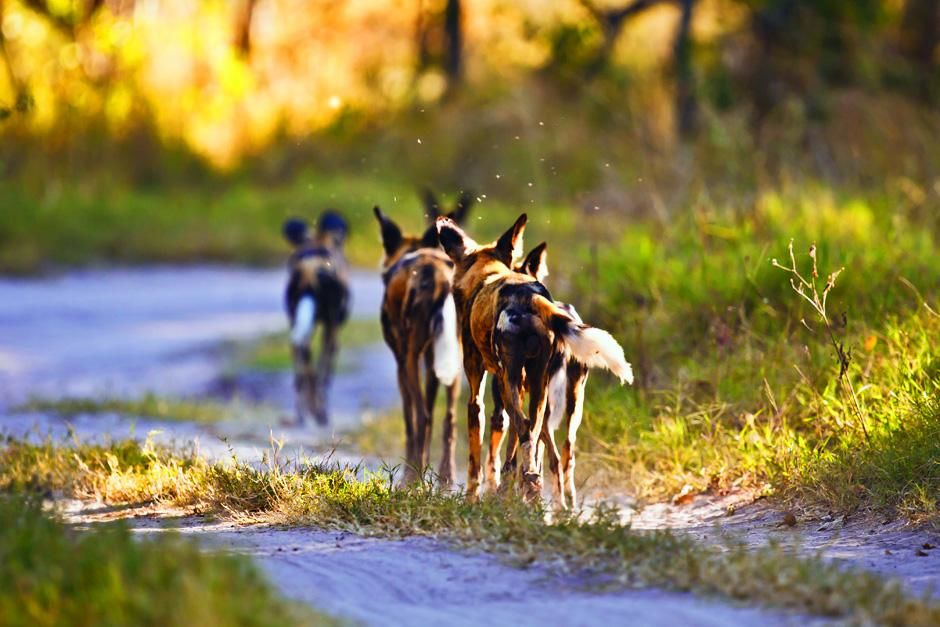 Zimbabwe: Pack of dogs walking away from camera along path. This image is from A Dog's Life. [Photo of the day - سپتامبر 2012]