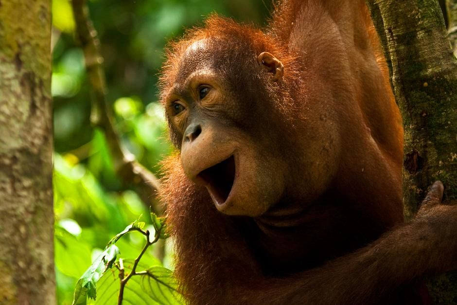 Adolescent orangutan calling at platform four. This image is from Finas Fund. [Photo of the day - سپتامبر 2012]