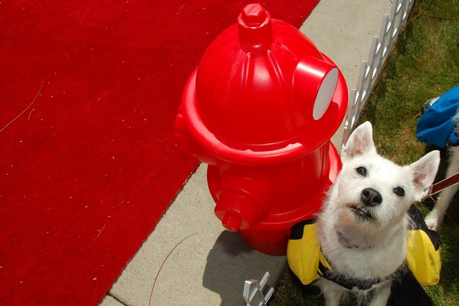 Dog next to a  fire hydrant along the red carpet. This image is from National Geographic... [Photo of the day - سپتامبر 2012]