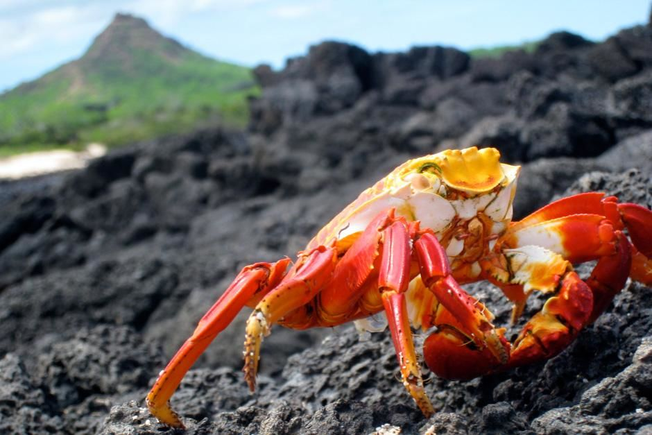 A salty light-foot crab travels on cooled lava flow in the Galapagos Islands, Ecuador.  This... [Photo of the day - سپتامبر 2012]