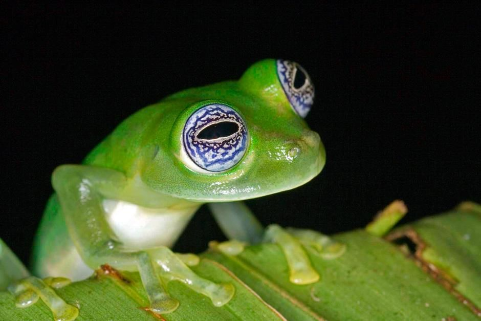 Frogs' eyes come in a mind-boggling array of colors and designs. Bulging eyes allow a frog to... [Photo of the day - سپتامبر 2012]
