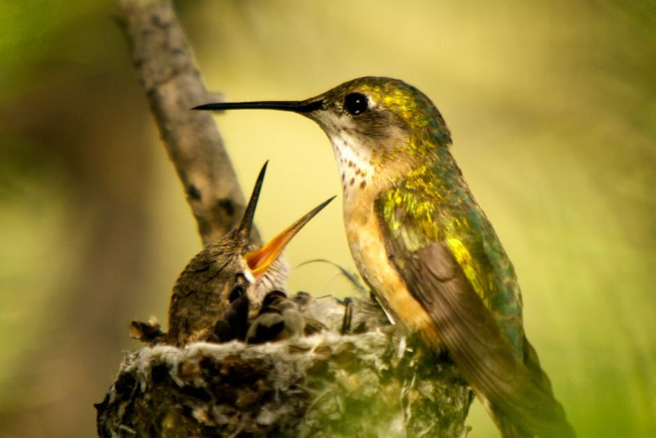 Grand Teton National Park, Wyoming:  A Hummingbird feeding her baby. This image is from Dam Beavers. [Photo of the day - سپتامبر 2012]