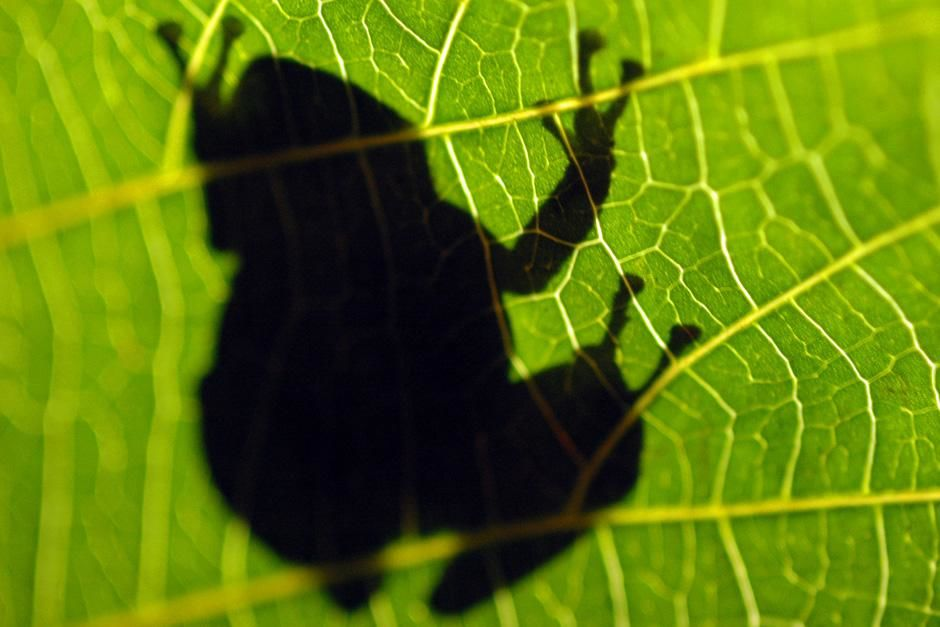 Coqui frog shadow. This image is from Animals Behaving Worse. [Photo of the day - October 2012]