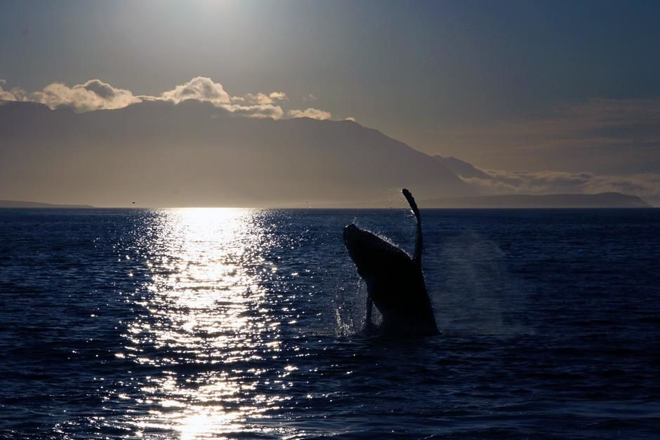 Akureyri, Iceland: A Humpback whale breaching. This image is from Alien Deep. [Photo of the day - October 2012]
