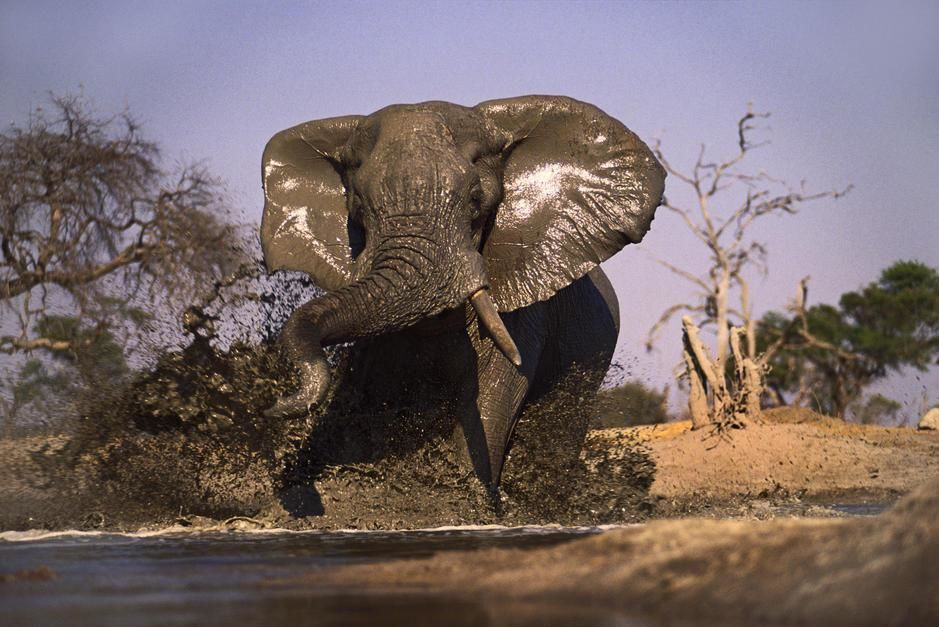 A Lone Bull Elephant Feigns Charge The Onlooker At Water Hole Creating