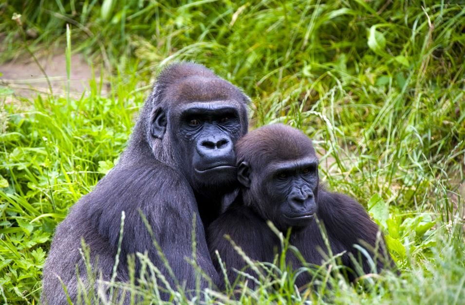 A mother gorilla and her infant sitting in the long grass. Conflicts in weaning between mother... [Photo of the day - نوفمبر 2012]