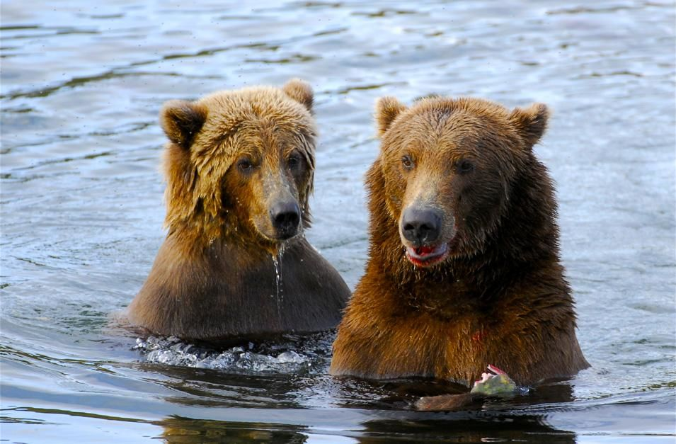 A mother bear with her cub dine side by side in Brooks River, Alaska. This image is from Planet... [Photo of the day - نوفمبر 2012]